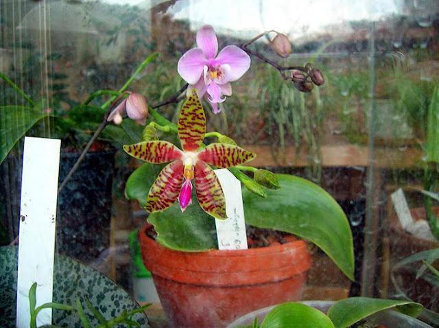 phalaenopsis Ambolued2