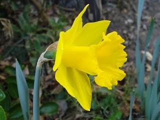 Capilote - flor  leonesa que florece de febrero a abril