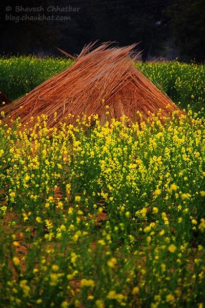 Mustard Farm [Sarson da Khet] near Mahapura village near Jaipur
