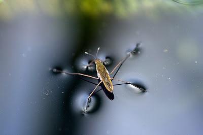 Image result for pond skater
