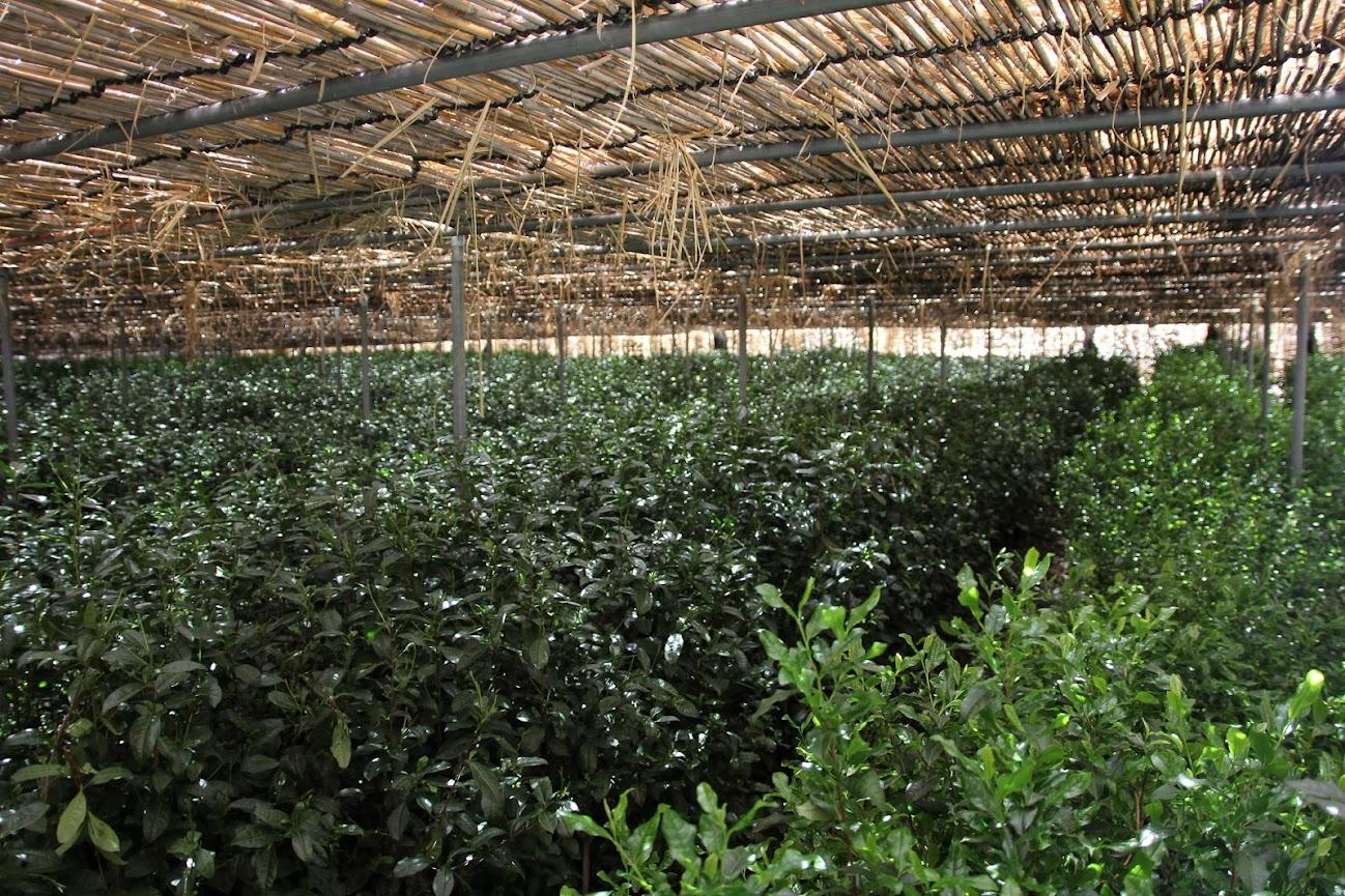 Matcha Teeplantage