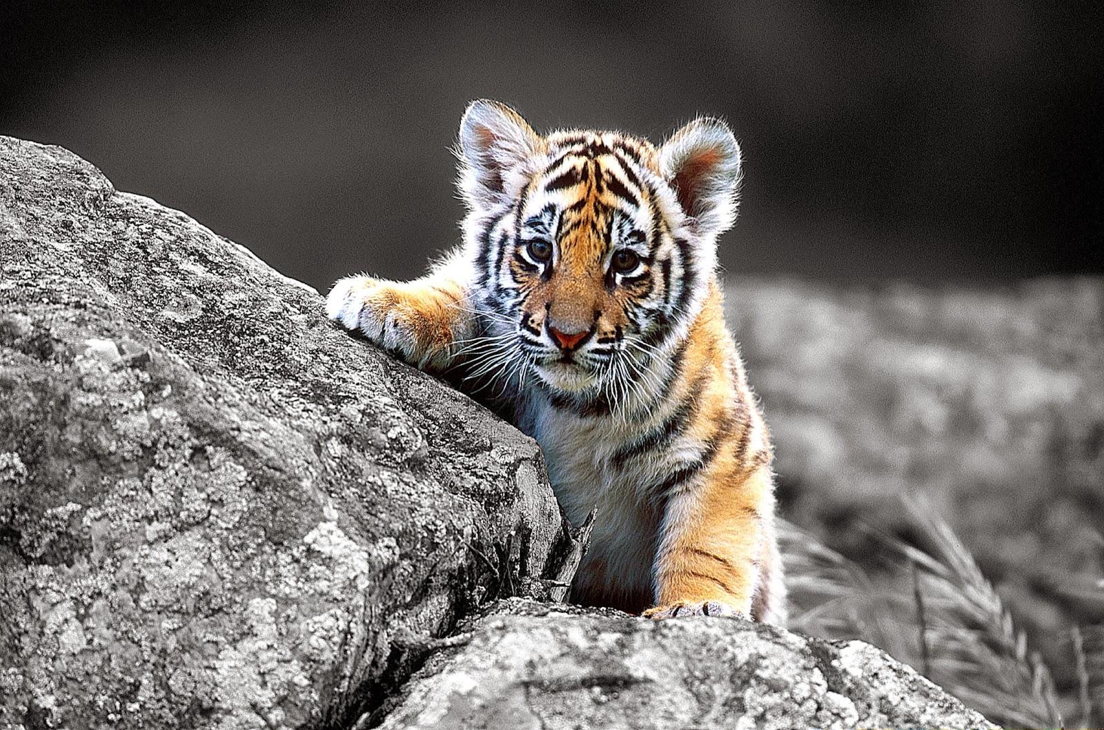 Baby Tiger HD wallpaper