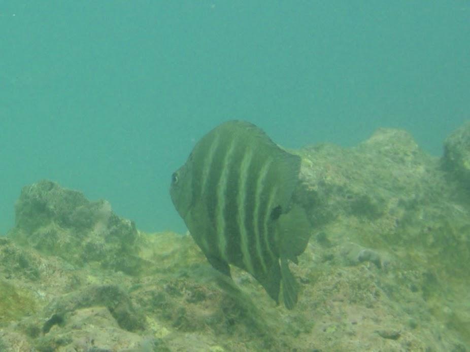 Abudefduf sordidus (Black-Spot Sergeant Damselfish), Rarotonga.