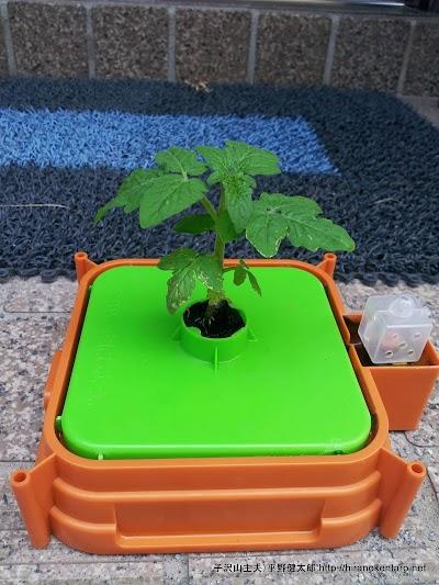 チャレンジ2年生のトマト作り