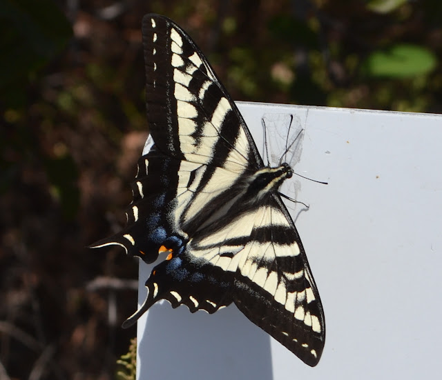 swallowtail on a white sign