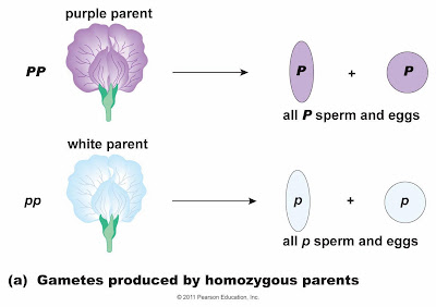 Write a homozygous recessive genotype example