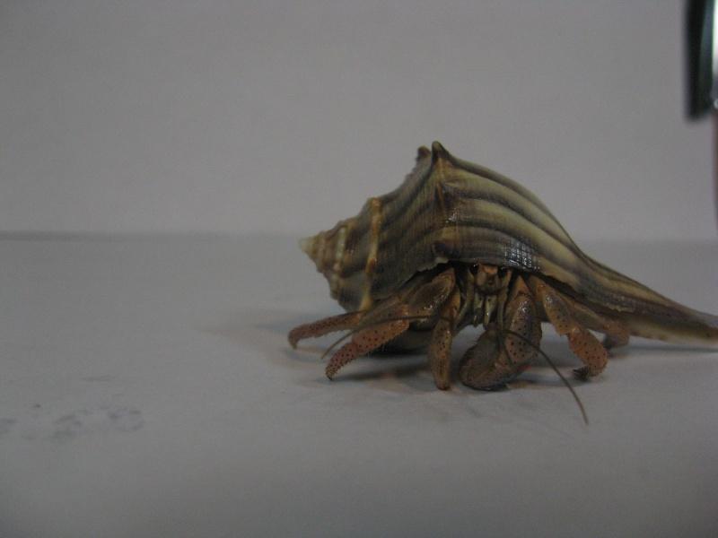 Photo Album: Ecuadorian hermit crab (Coenobita compressus) Hermit%2BCrab%2B3