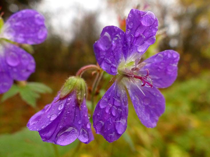 geranium+en+fleur+gouttes+eau+kipin%25C3