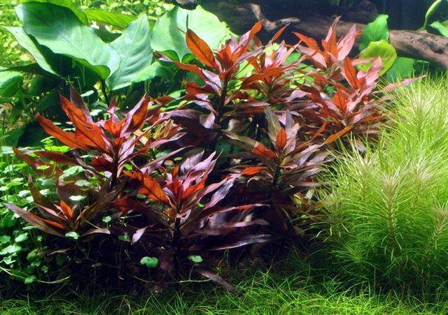 Людвигия железистая (Ludwigia glandulosa)