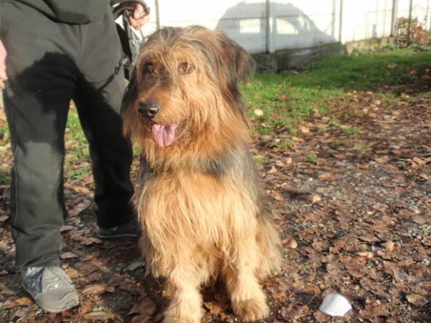 pastore bergamasco – Adotta un cucciolo