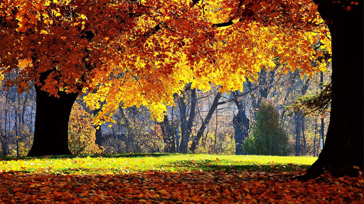 Yellow Leaves and Trees in Autumn