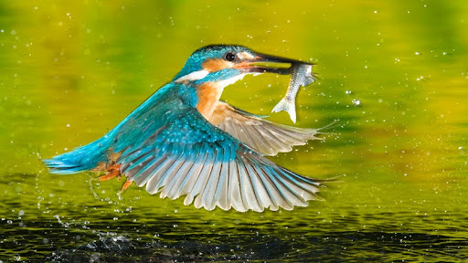Kingfisher in Flight, Romania.jpg