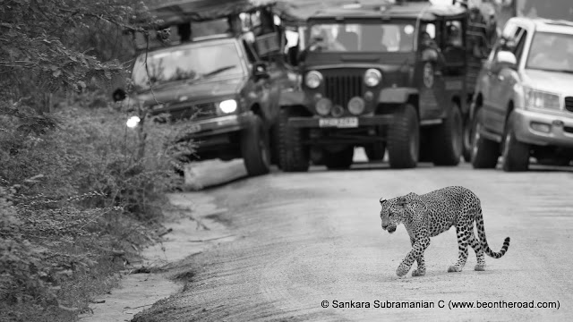 Sri Lankan Leopard in monochrome