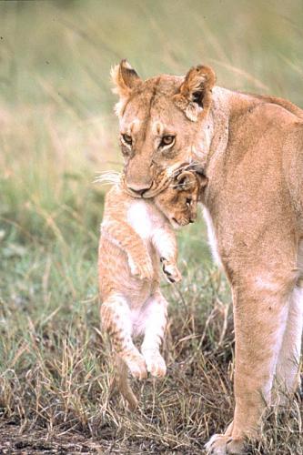 Leonessa e leoncino