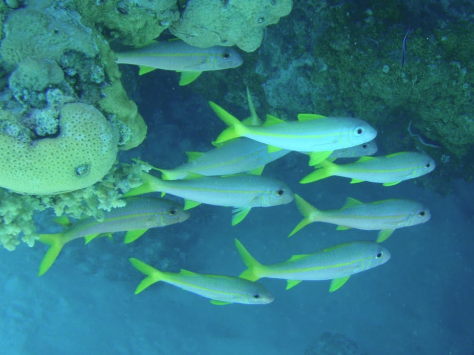 Mulloidichthys vanicolensis (Yellow-fin Goatfish), Aitutaki.