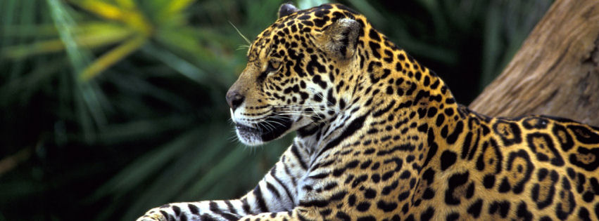 Jaguar in amazon rain forest facebook cover