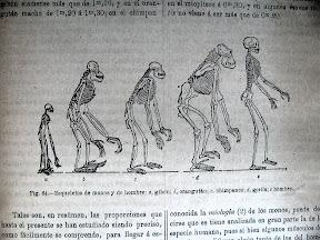 Comparación de esqueletos de monos.