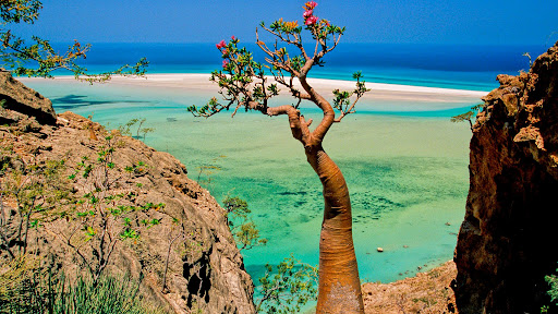 Bottle Tree, Qalansia Beach and Lagoon, Socotra Island, Yemen.jpg