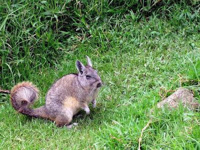 Viscacha in Machu Picchu Peru