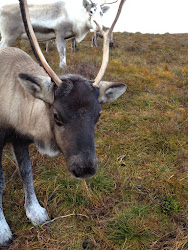 Wiggins the Cairngorm Reindeer