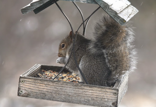 IMG_2437squirrel-2014-12-4-09-04.jpg