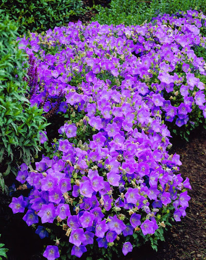 Bordura aiuola di piccoli arbusti e erbacee perenni for Piante perenni per bordure