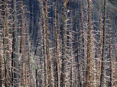 Cool looking burned pine trees