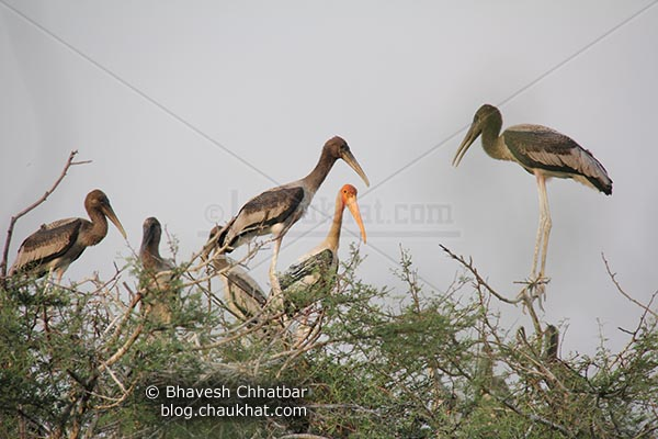 Mother painted stork with 5 young painted storks