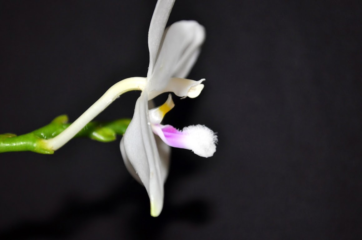 Phalaenopsis tetraspis C#1 - Un autre DSC_0011