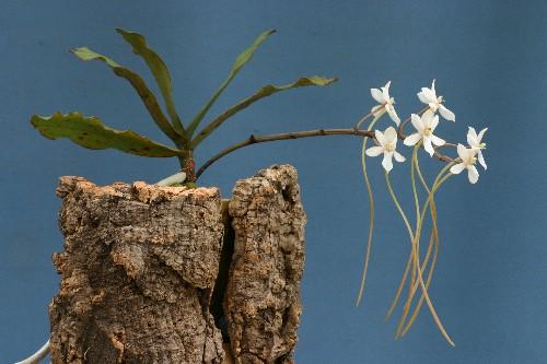 Растения из Тюмени. Краткий обзор Aerangis%25252520somalensis-0506-2