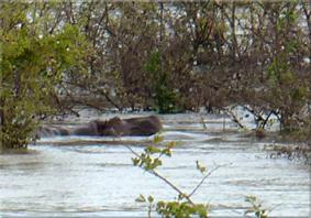 Hipopótamos localizados en el río Gambia - Campement de Badian