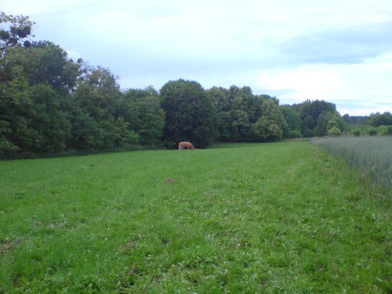 Leśnicka krowa