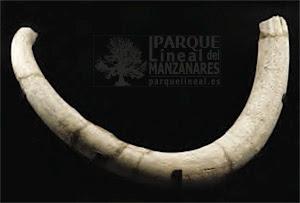 Colmillo de mamut. Arenero de la Salmedina. Rivas-Vaciamadrid.