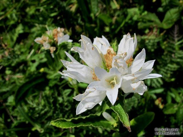 flori albe de munte: ciucure alb