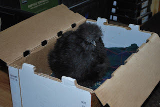 black silkie hen that pretended to be sick for months