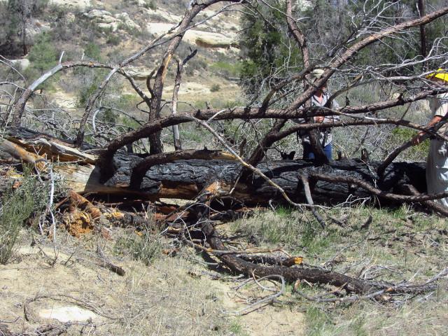 fallen tree found