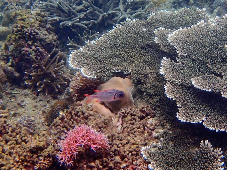 Myripristis violacea (Violet Soldierfish), El Nido, Palawan, Philippines.