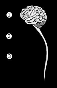 %252522Central_nervous_system_svg.png%25