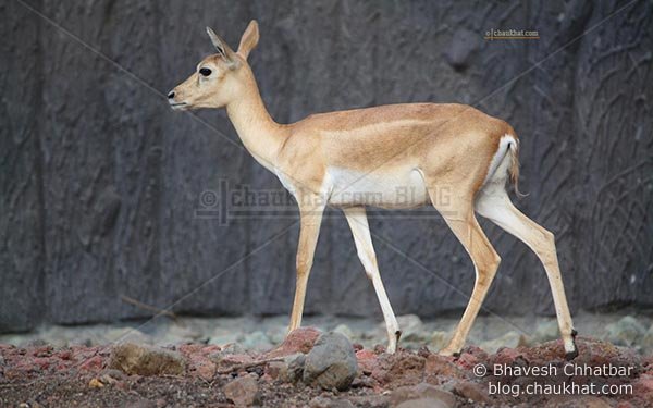 Deer in Katraj Zoo