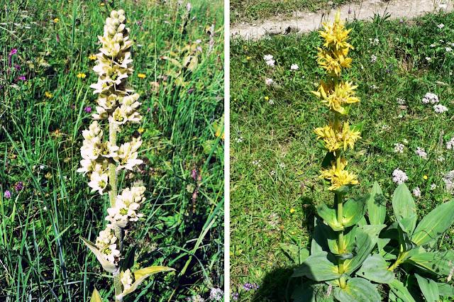 Alpenblumen Weiße Germer und Gelber Enzianam Gaisalpsee