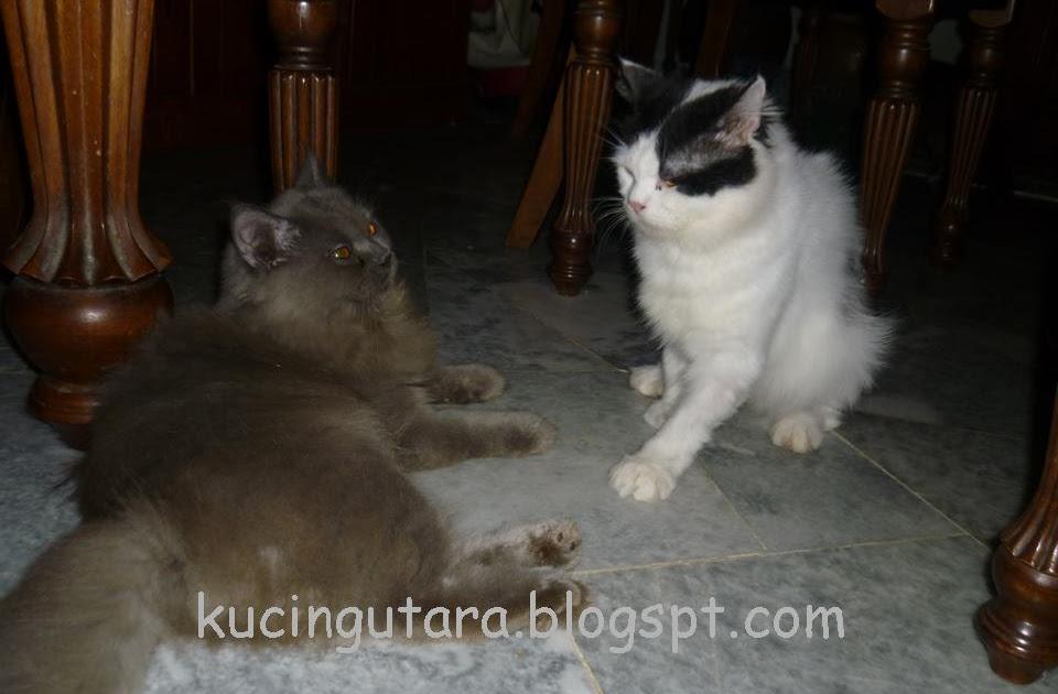 Kucing Utara Kenapa Kucing Bergaduh