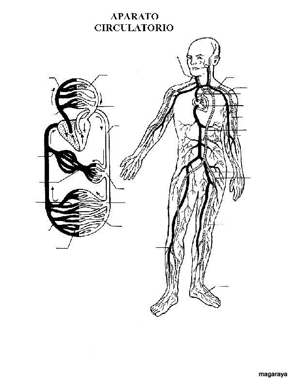 Perfecto Sistema Circulatorio Para El Diagrama De Niños Colección ...