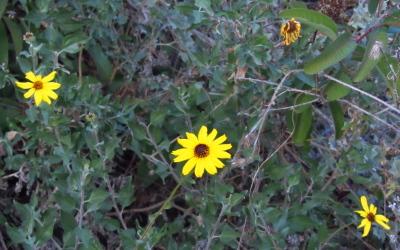 little sunflowers