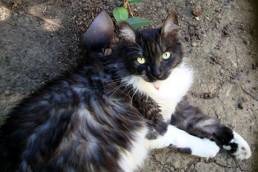 Tuxedo Cat, Lindy Lu