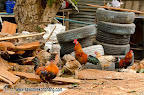 Chickens and roosters in Wat Klong Prao