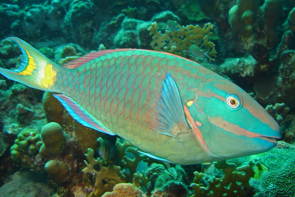 Rasp along to the song of the Stoplight Parrotfish.