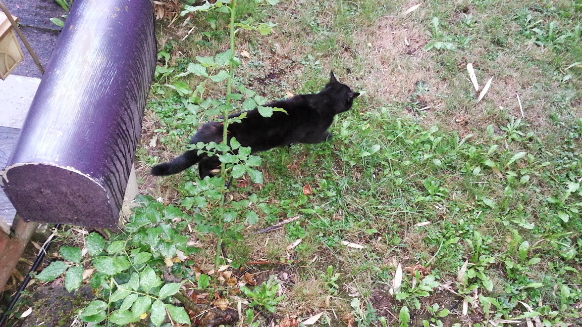 Ivy the black cat walks small across the front yard