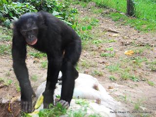 Bonobo, une espèce de singe le plus rapproché à l'homme situé dans leur sanctuaire appelé « Lola ya Bonobo » à Kinshasa. Radio Okapi/Ph. John Bompengo