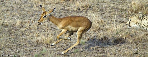 A young impala deer running for life - photographed by Michel Denis-Huot