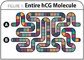 Figure 1: Entire hCG Molecule